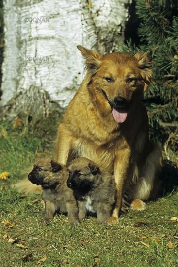 Dog, Harzer Fuchs