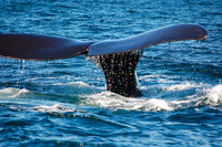 the beautiful whales in the Valdes Peninsula in Argentina