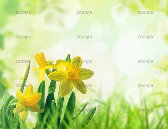 Daffodils in grass with spring background