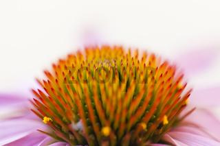 Nahaufnahme einer Sonnenhut Blüte / Echinacea
