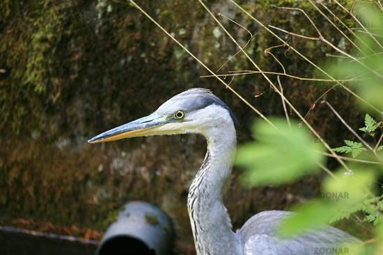 Portrait of a Grey Heron, Avolea cinerea