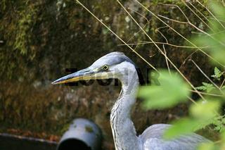 Portrait vom Fischreiher oder Graureiher, Grey Heron, Avolea cinerea