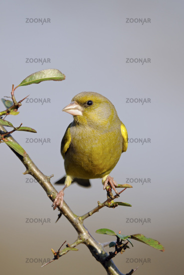 in the backyard... European Greenfinch *Carduelis chloris*