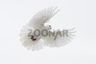 fliegende weisse Taube, flying white pigeon