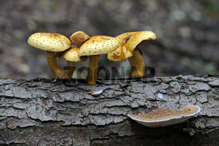 Goldfell-Schüppling (Pholiota aurivella), wächst auf Totholz