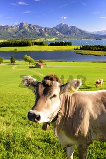 Kuh im Allgäu vor den Alpen