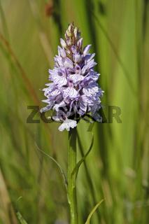 Fuchsknabenkraut (Dactylorhiza fuchsii, Orchis fuchsii) Common Spotted Orchid