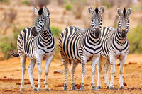 Plains Zebras, South Africa