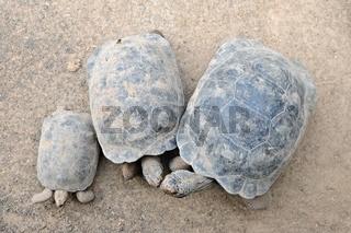 Schildkröten Insel Isabela Galapagos Inseln Ecuador