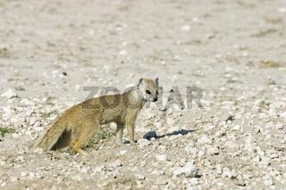 Fuchsmanguste, Cynictis penicillata, Etosha Nationalpark, Namibia, Afrika, Yellow Mongoose, Etosha National Park, Namibia, Africa