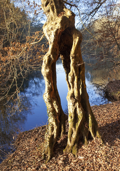weird tree at river Wupper in autumn, Solingen, Bergisches Land, North Rhine-Westphalia, Germany
