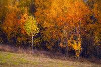 Birch autumnal forest