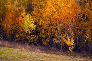 Birch autumnal forest