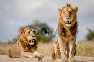 Two young male Lion brothers in Kruger.