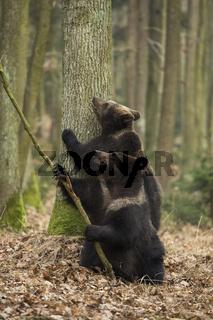 gemeinsam sind wir stark... Europäische Braunbären *Ursus arctos*