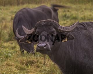 Asiatische Wasserbueffel (Bubalus arnee)