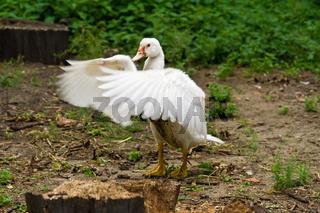 Barbarie-Ente, muscovy duck, Cairina moschata