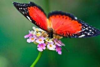 Spitzenflügel Schmetterling