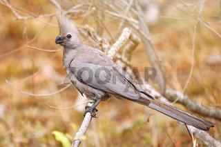 Grauer Lärmvogel, Kruger NP, Südafrika, grey Go-away-bird, Kruger NP, South Africa