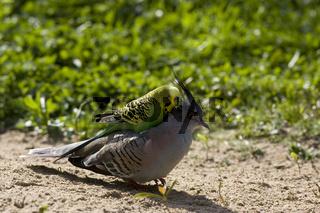 Wellensittich, Schopftaube, Melopsittacus undulatus, Ocyphaps lophotes, Budgerigar, Crested Pigeon