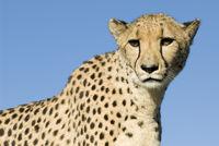 Gepard, acinonyx jubatus, cheetah, Namibia