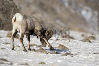 Nahrungssuche im Schnee... Dickhornschaf *Ovis canadensis*
