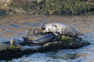 Seehund (Phoca vitulina) - Common Seal