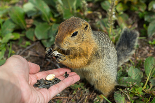 Arctic ground squirrel eats seeds from human hands. Kamchatka.
