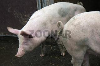 Zwei Hausschweine vor der Stalltuer