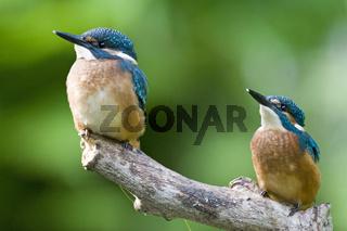 Eisvogel, Alcedo atthis, Kingfisher