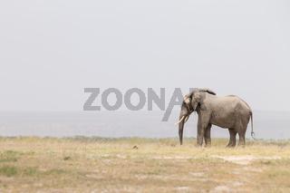 Herd of wild elephants in Amboseli National Park, Kenya.