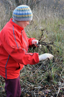 Woman collects roots of a medical plants