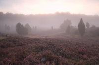 misty sunrise over flowering heather hills