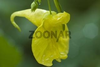 Blüte Großes Springkraut (Impatiens noli-tangere)
