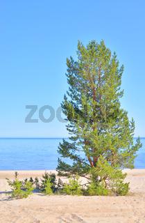 Pine tree on the coast of Ladoga lake.