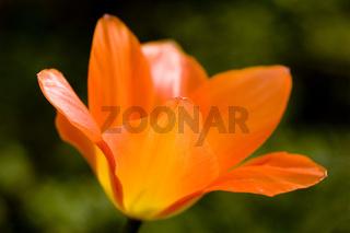 orange Tulpenblüte - Tulipa