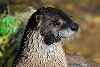 Close-up portrait of a wet Northern River Otter