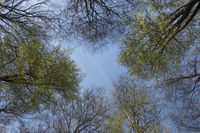 look up to the sky... tree tops in Spring *Fagus sylvatica*