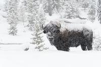 im dichten Schneetreiben... Bison * Amerikanischer Bison *Bison bison**