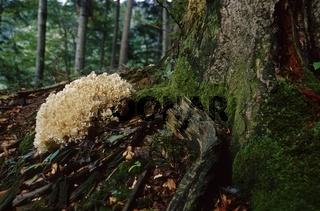 Krause Glucke (Sparassis crispa)