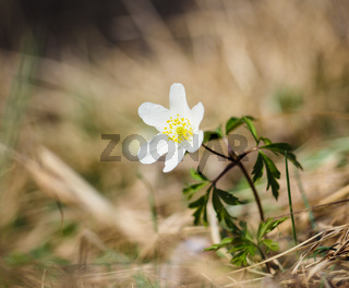 Beautiful little white windflower anemone, standing on its own at spring