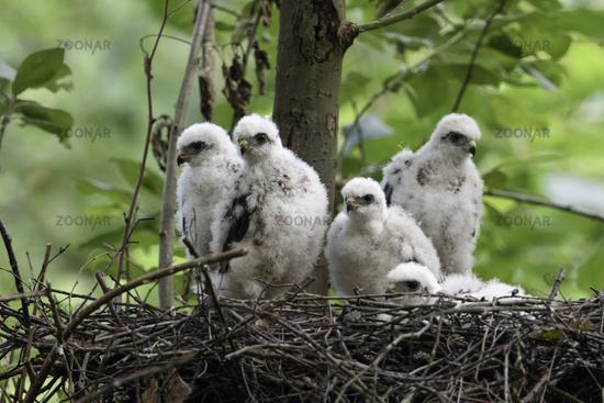 five of them... Sparrowhawks *Accipiter nisus*