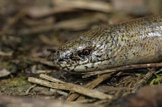 Blindschleiche, Anguis fragilis, slow worm