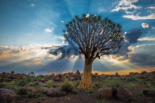 The quiver tree, or aloe dichotoma, Keetmanshoop, Namibia