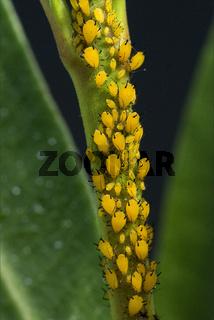 Blattlaeuse; Aphidina, Insekt; Blattlaus