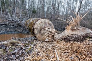 Beaver timber