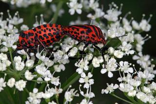 Graphosoma lineatum, Streifenwanze, minstrel bug