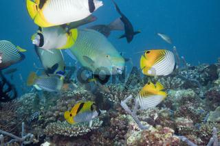 Korallenfische am Riff