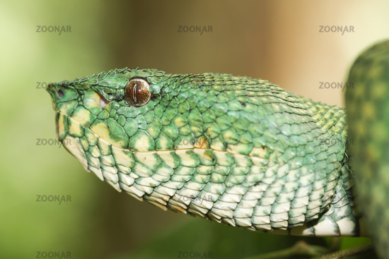 Waglers Pit Viper, Rainforest, Malaysia