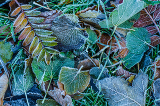 Frosty Winter Leaves